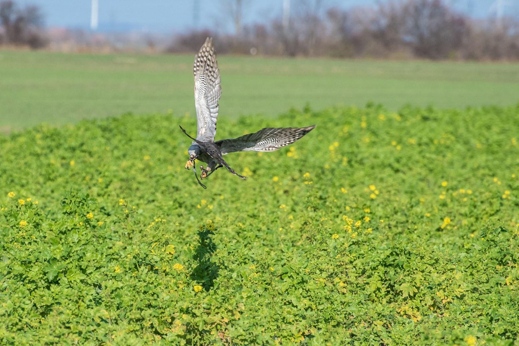 Jagdflug eines Althabichts