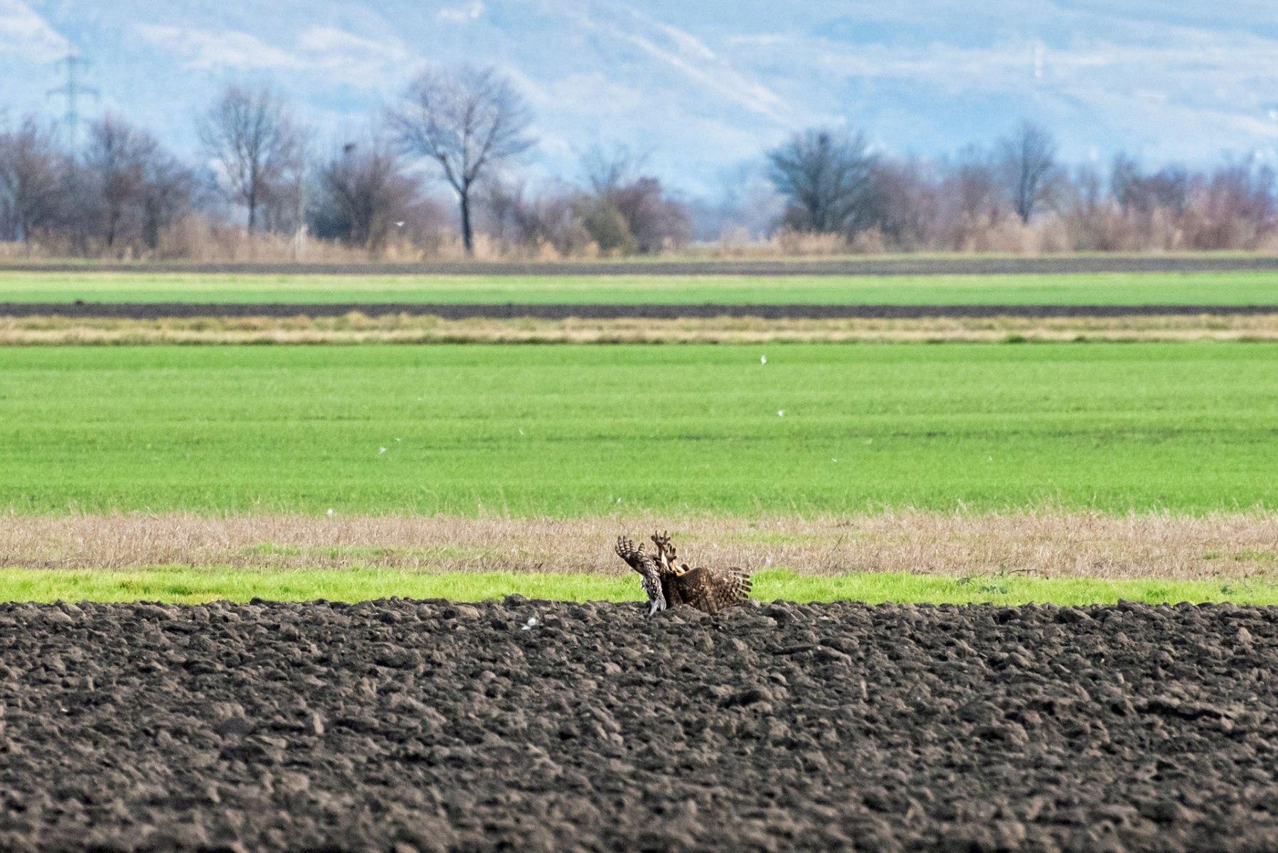 Der Hase tritt gegen den Rothabicht
