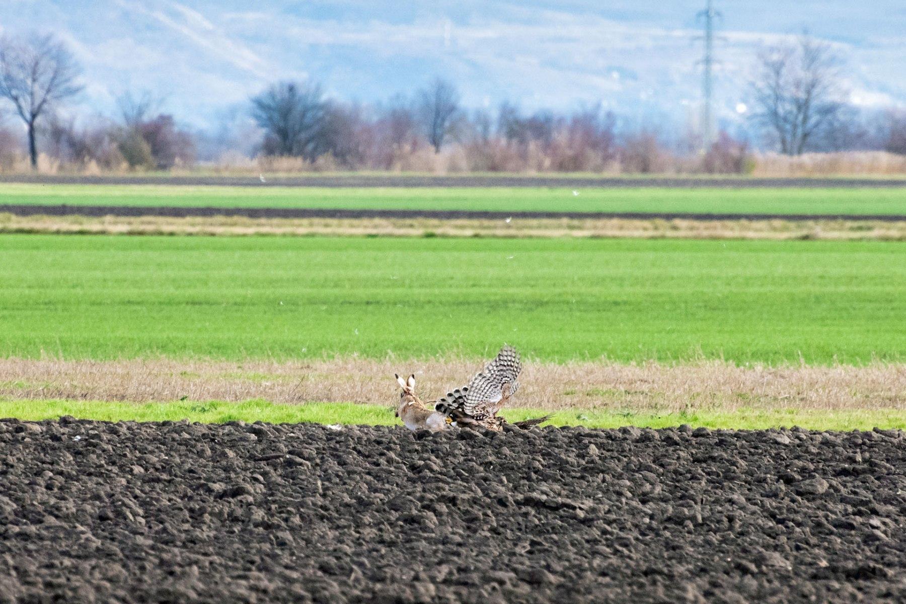 Der Hase kann den Rothabicht abschütteln