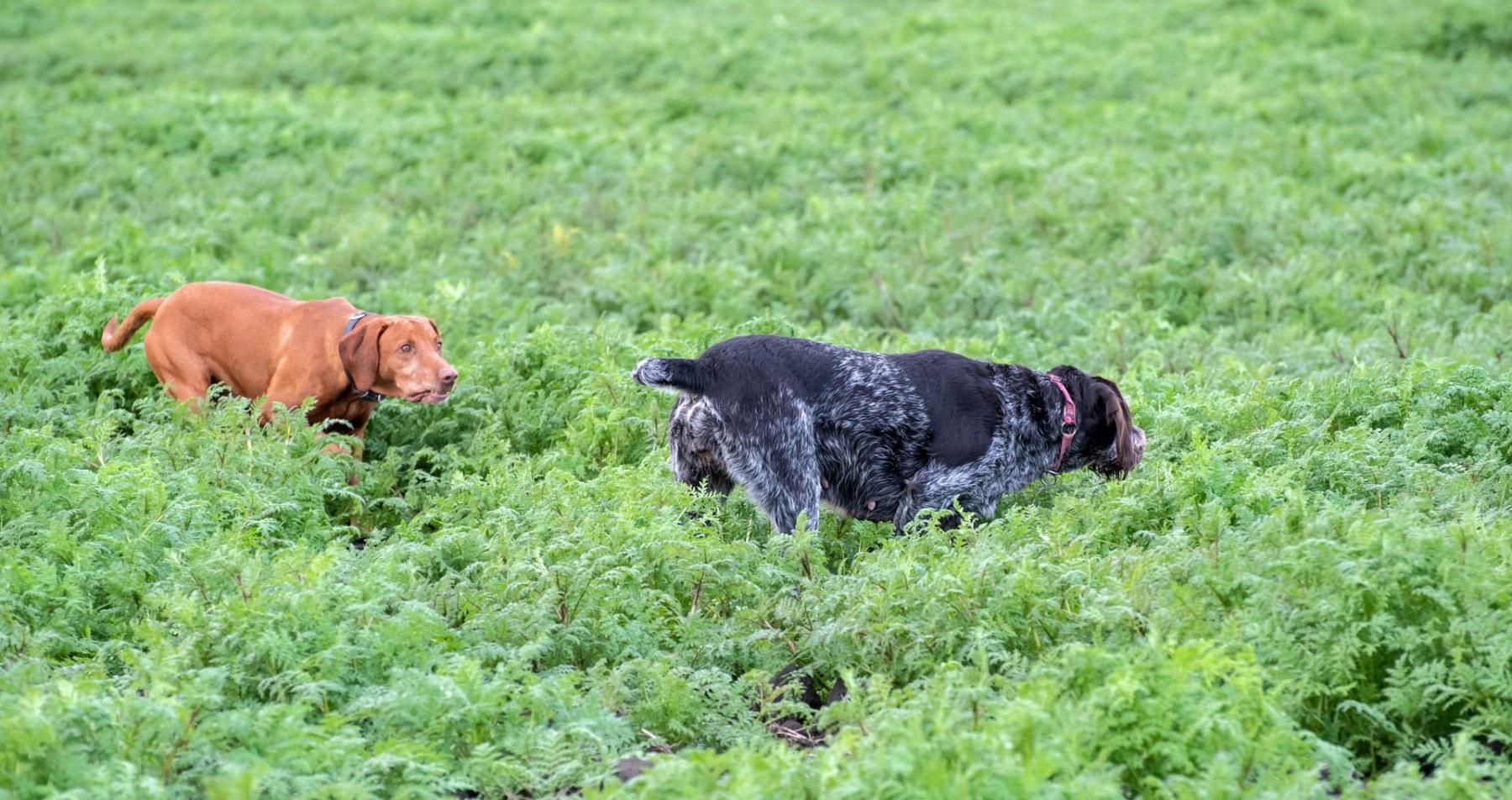 Falknerhunde sekundieren, wenn sie Wild vorstehen