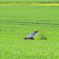 Der Habicht greift nach dem Hasen