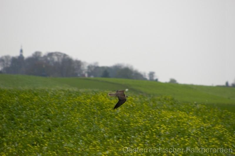 Rasant jagt der Sakerfalke über die Felder