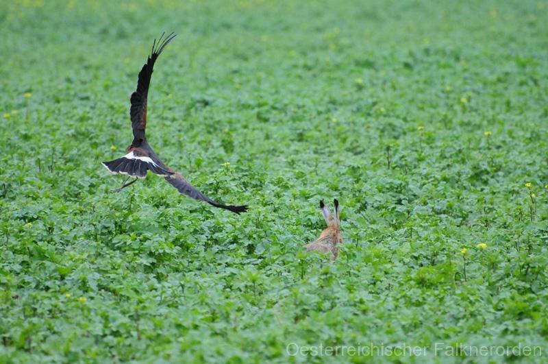 Dyami startet zum Jagdflug