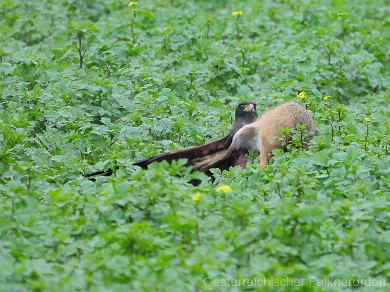 Der Hase schlägt mit den Springern gegen den Beizvogel