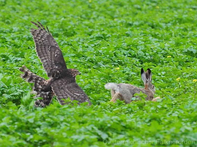 Rothabicht Dana startet zum Jagdflug