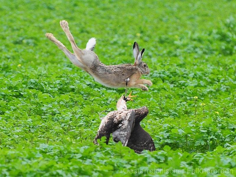 Wenn Hasen durch die Lüfte fliegen...