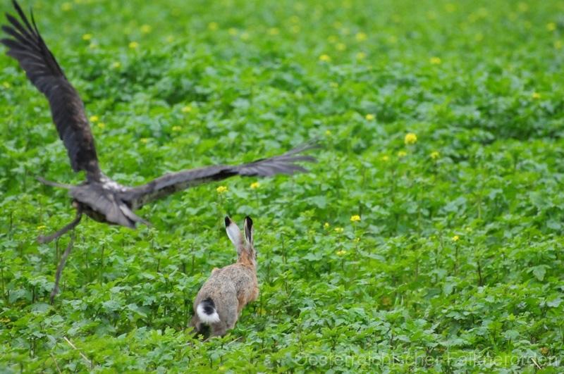 Habichtsadler Kithan startet zum Jagdflug
