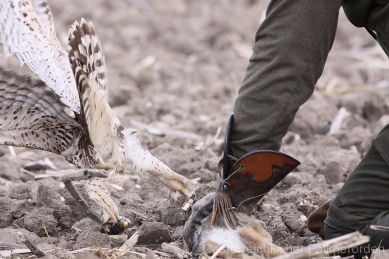 Der Falkner eilt zu Hilfe