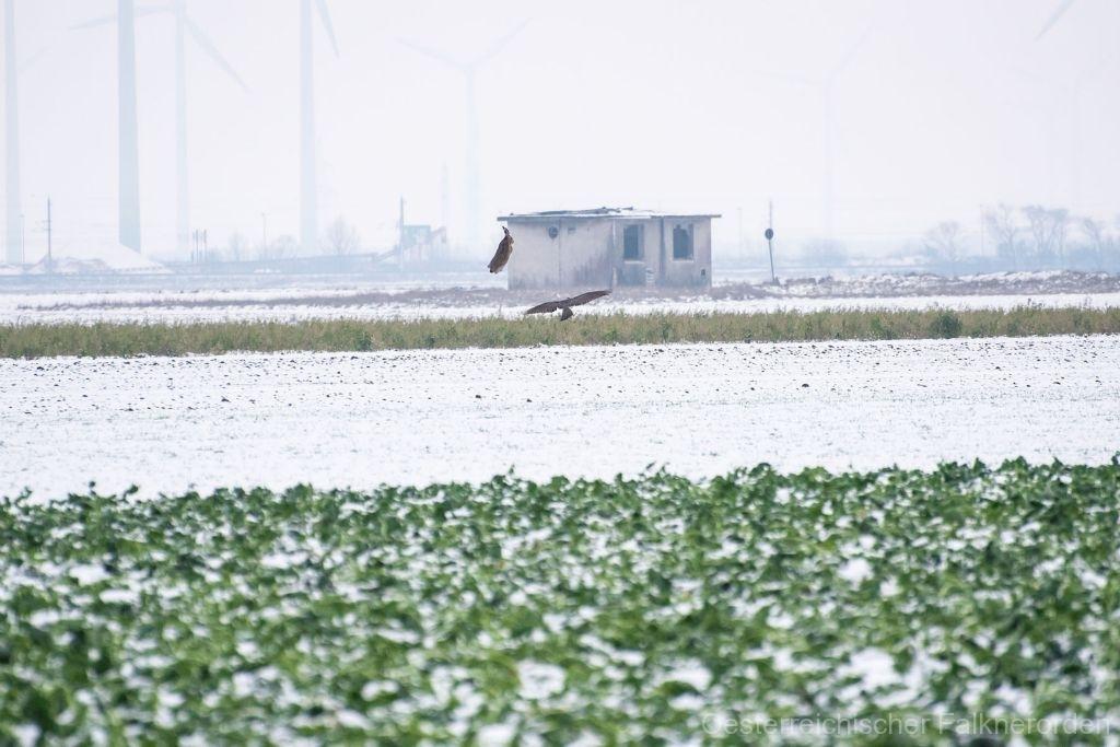 Der Feldhase springt 2 Meter in die Luft um dem Habicht zu entkommen