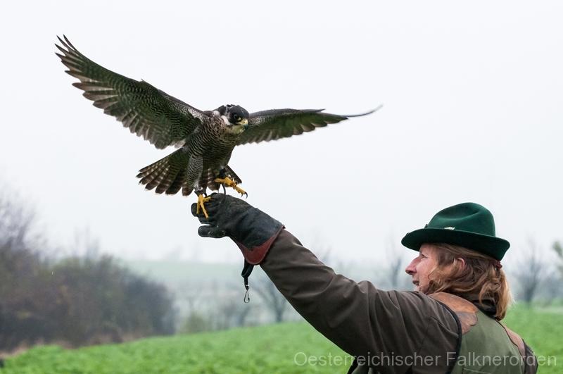 ...und der Falke startet