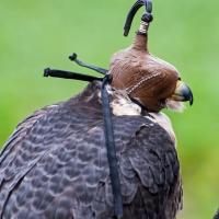 Der Falke konzentriert und entspannt sich vor dem Flug unter der Haube