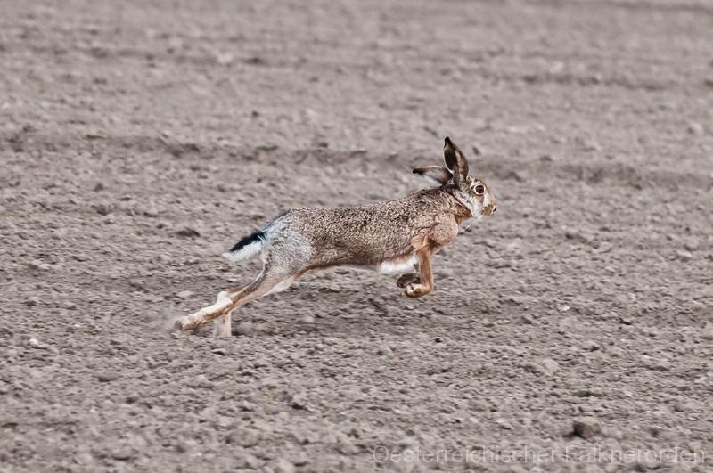 Lauf, Hase, Lauf