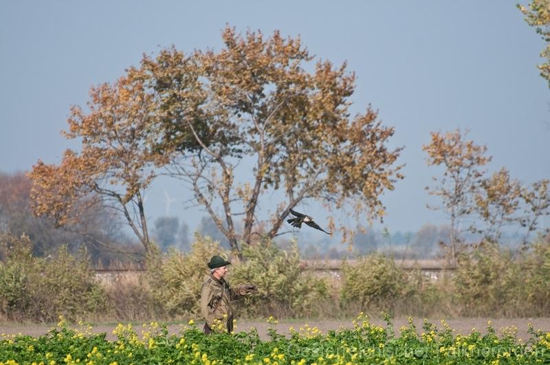 Der Wanderfalke startet zum Jagdflug auf Fasane...