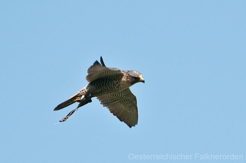 den Blick immer auf den Falkner gerichtet