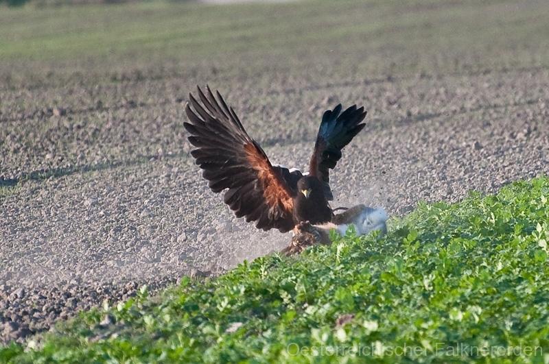 Gekonnt greift sie den Feldhasen am Kopf... 23/50 und hält ihn bis die Falknerin vor Ort ist