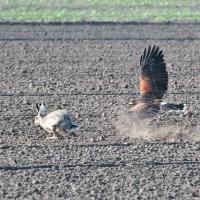 Staub und Erde fliegen wenn die Hasen Hacken schlagen