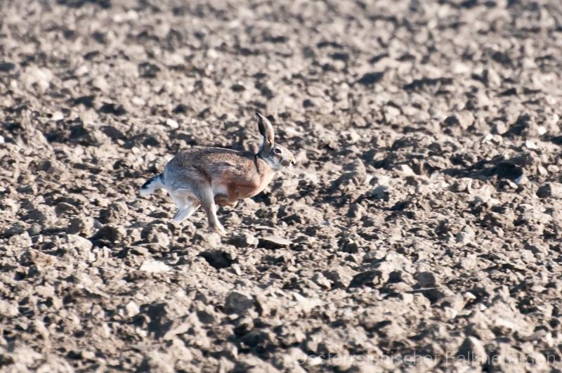 Auch Hasen können auf zwei Beinen unterwegs sein...