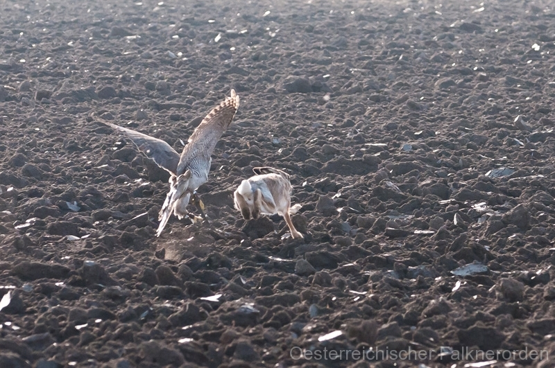 Das dichte Haarkleid der Feldhasen erschwert den Beizvögeln im November die Jagd... 32/50 ...die Wolle fliegt, aber der Hase entkommt