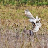 Der erste Flug gehört Jagdgast Clemens aus dem Westerwald und seinem weißen Habicht