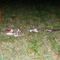 Die Strecke des Tages: 2 Feldhasen, ein Kaninchen, 1 Fasan