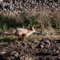 Auch in diesem Treiben steckte ein Fuchs