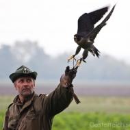 Der Wanderfalke startes von Mannis Faust zum Jagdflug