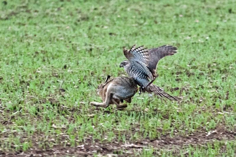 Der Habicht schlägt den Hasen im hinteren Rückenbereich