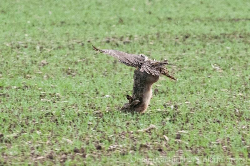 ...durch die Wucht des Fluges reißt er ihn nach oben