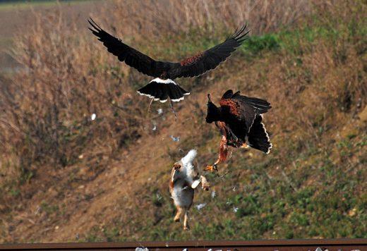 erfolgloser Kompanieflug von zwei Harris Hawks auf einen Feldhasen